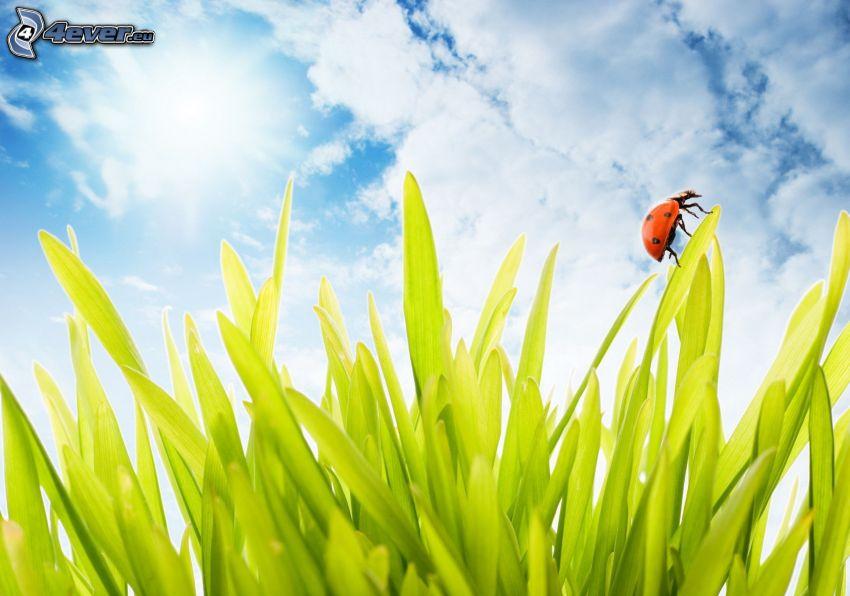 biedronka na liściu, trawa, chmury