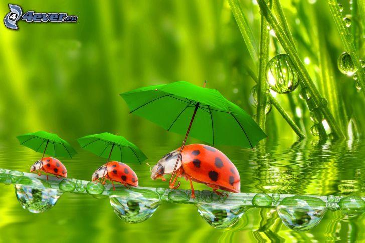 biedronki, parasole, źdźbło, krople deszczu