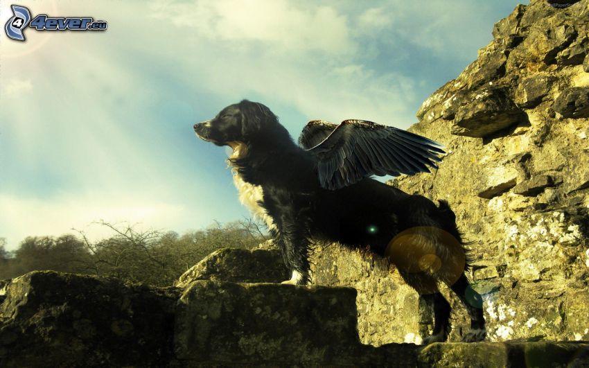 Border Collie, czarne skrzydła