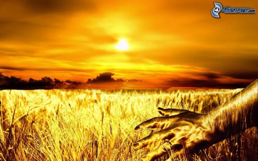 dojrzałe pole pszenicy, ręka, zachód słońca nad polem, żółte niebo