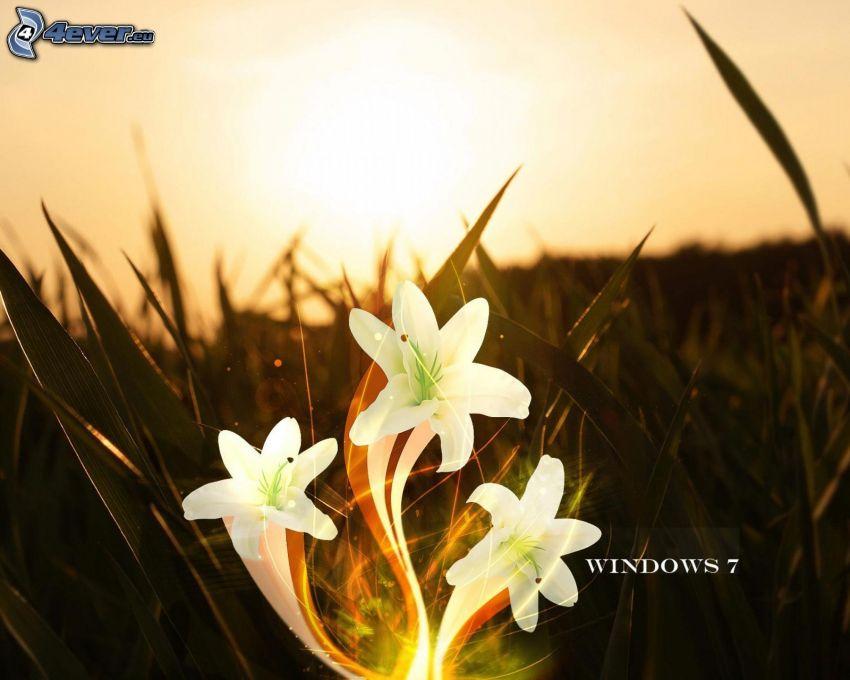 lilie, Windows 7, liście