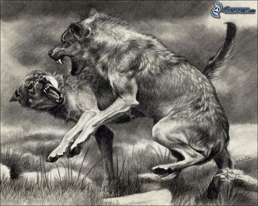 wilki, bójka, ryk