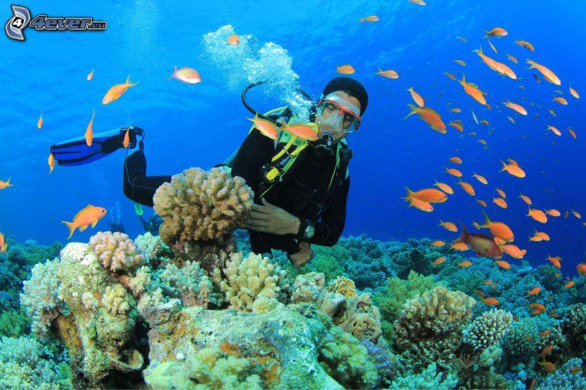 nurek, koralowce, ławica ryb