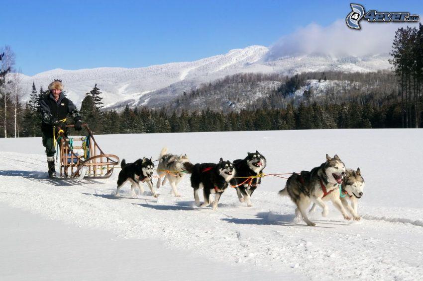 psi zaprzęg, Syberian husky, bieg, śnieżny krajobraz