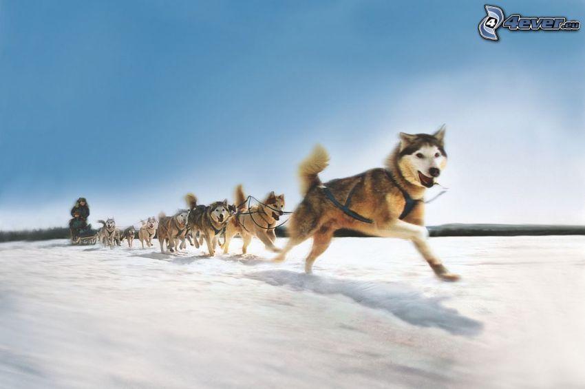 psi zaprzęg, Syberian husky, bieg