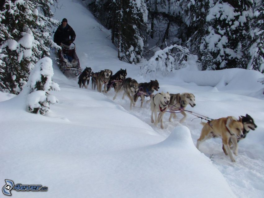 psi zaprzęg, Syberian husky, śnieg