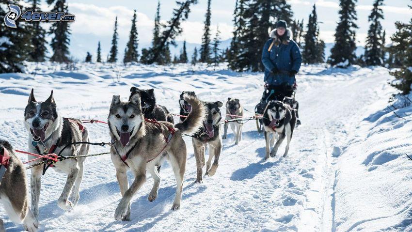psi zaprzęg, Syberian husky, zaśnieżona droga
