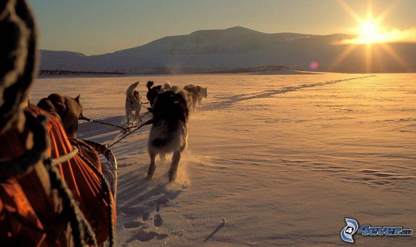 psi zaprzęg, wschód słońca, śnieg, Syberian husky