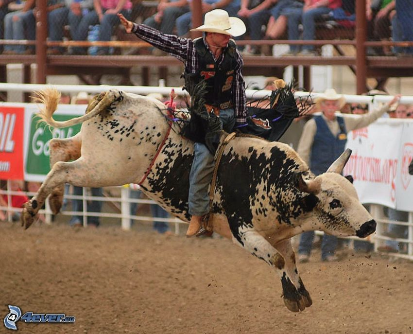 rodeo, byk, kowboj