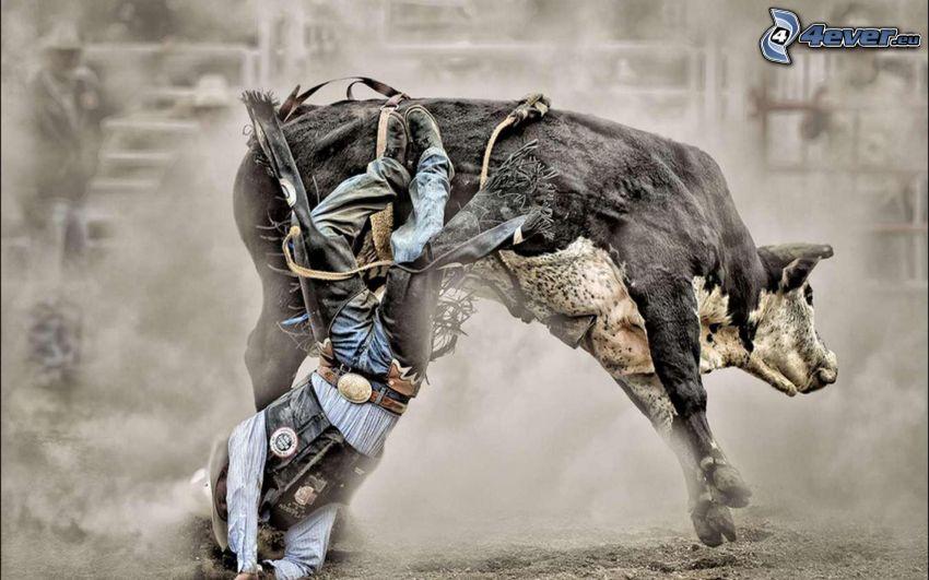 rodeo, byk, upadek