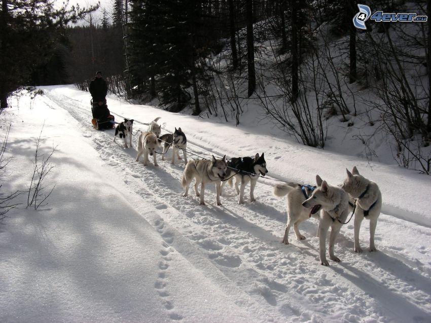 psi zaprzęg w lesie, Syberian husky, śnieg