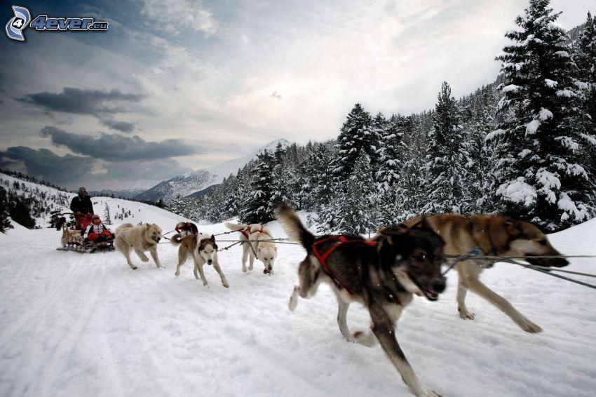 psie zaprzęgi, sanie, zaśnieżony las