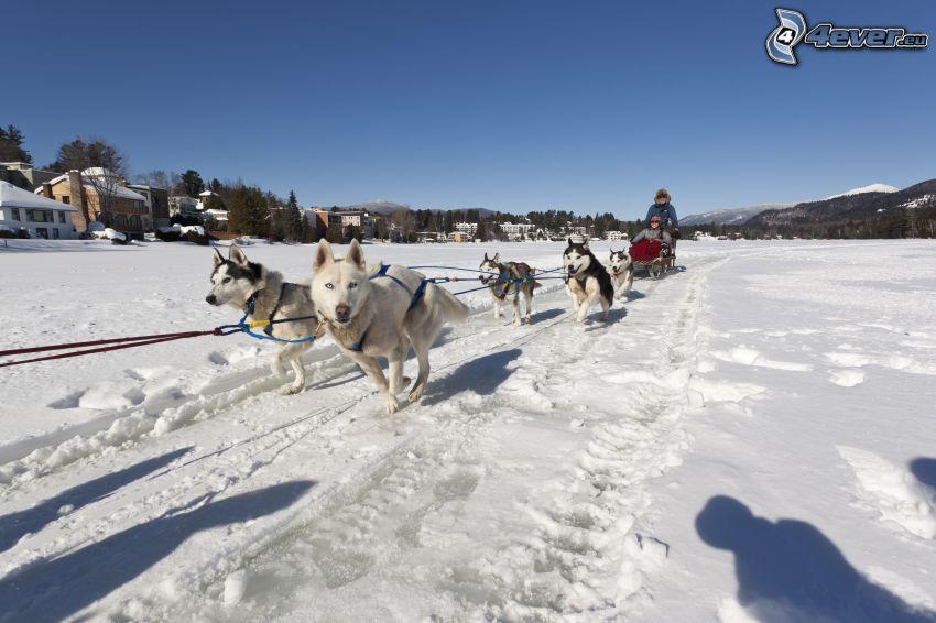 psie zaprzęgi, Syberian husky, wyścigi, śnieg