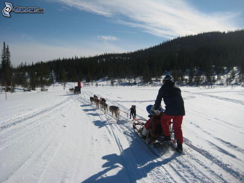 psie zaprzęgi, wyścigi, las, śnieg