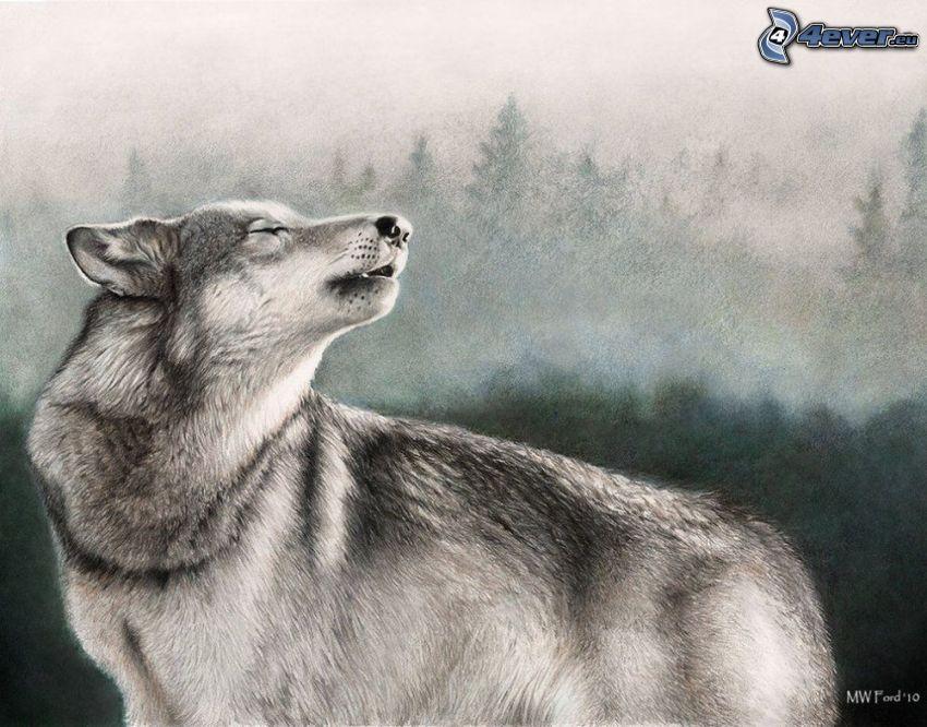 wilk rysunkowy, skomlenie