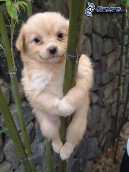 brązowy szczeniak, bambus