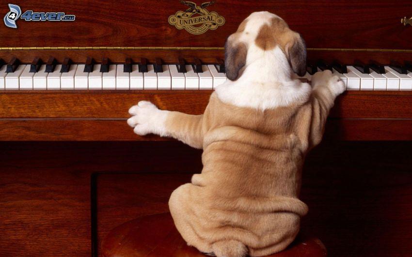 Buldog angielski, fortepian