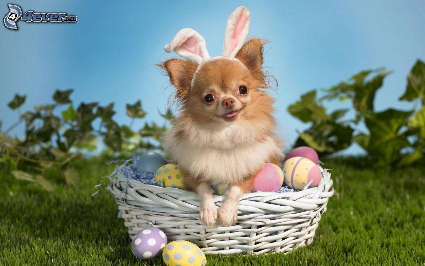 chihuahua, Wielkanoc, pies w koszyku, uszy, wielkanocne jajka, trawa