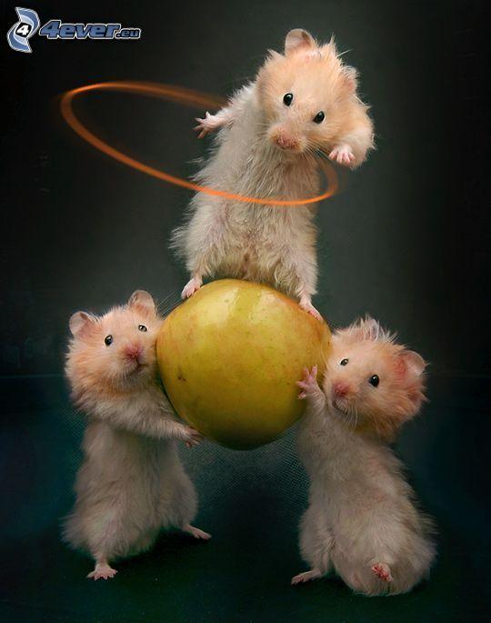 chomiki, taniec, jabłko