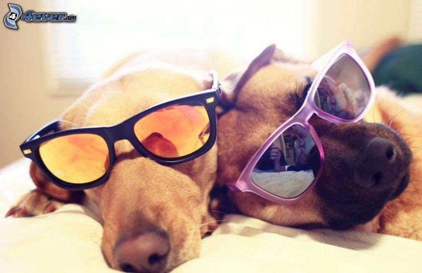 dwa psy, okulary przeciwsłoneczne