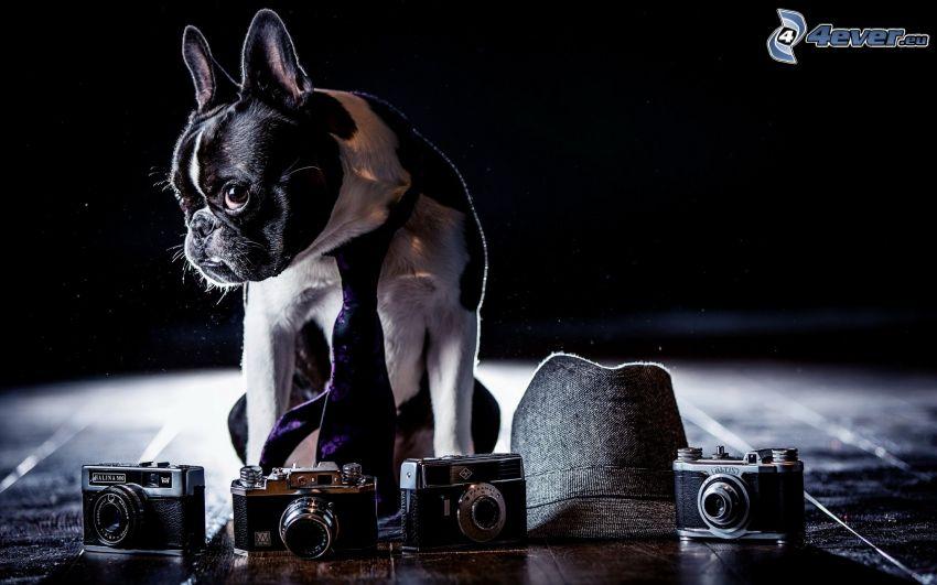 francuski buldog, krawat, aparaty fotograficzne, kapelusz