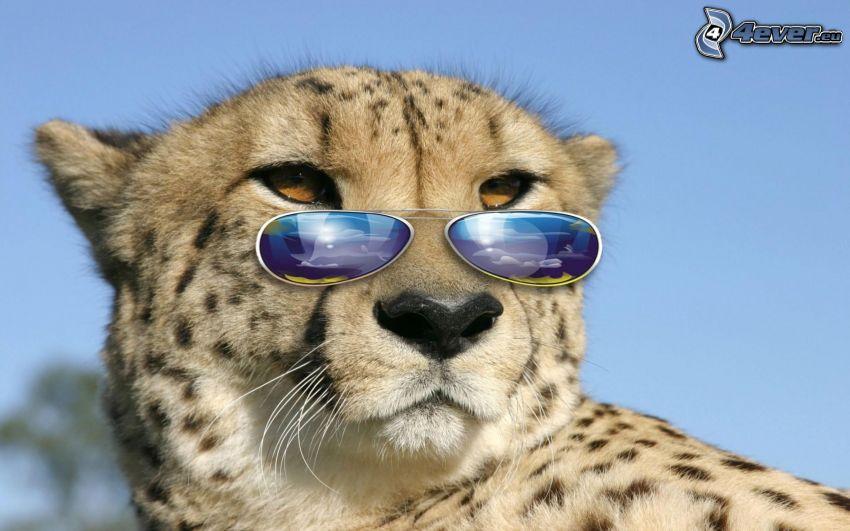 gepard, okulary przeciwsłoneczne