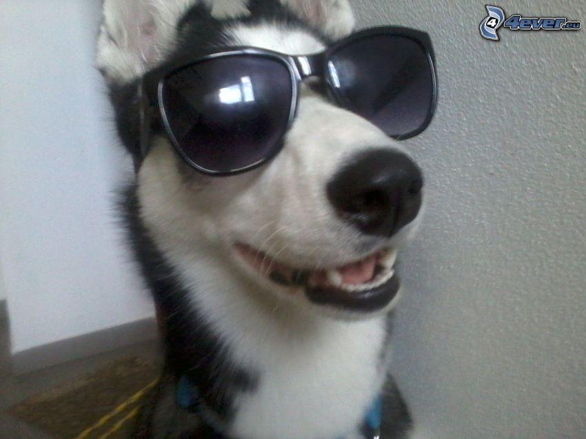 Husky w okularach przeciwsłonecznchi, pies