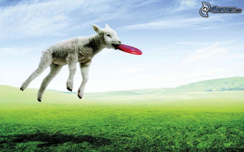 jagnię, latający talerz, wyskok, pole