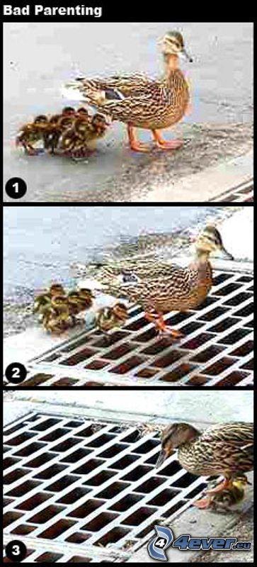kaczki, kanał
