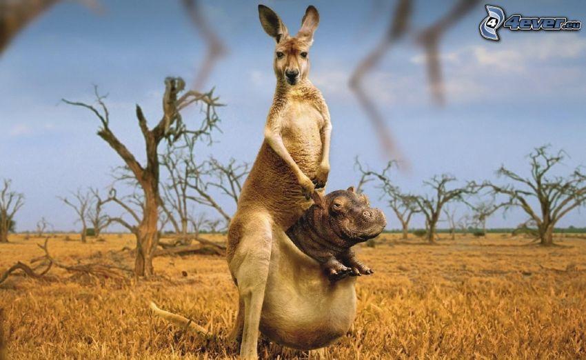 kangur, hipopotam, step