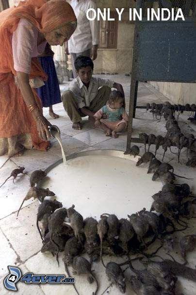 karmienie, szczury, Indie, mleko