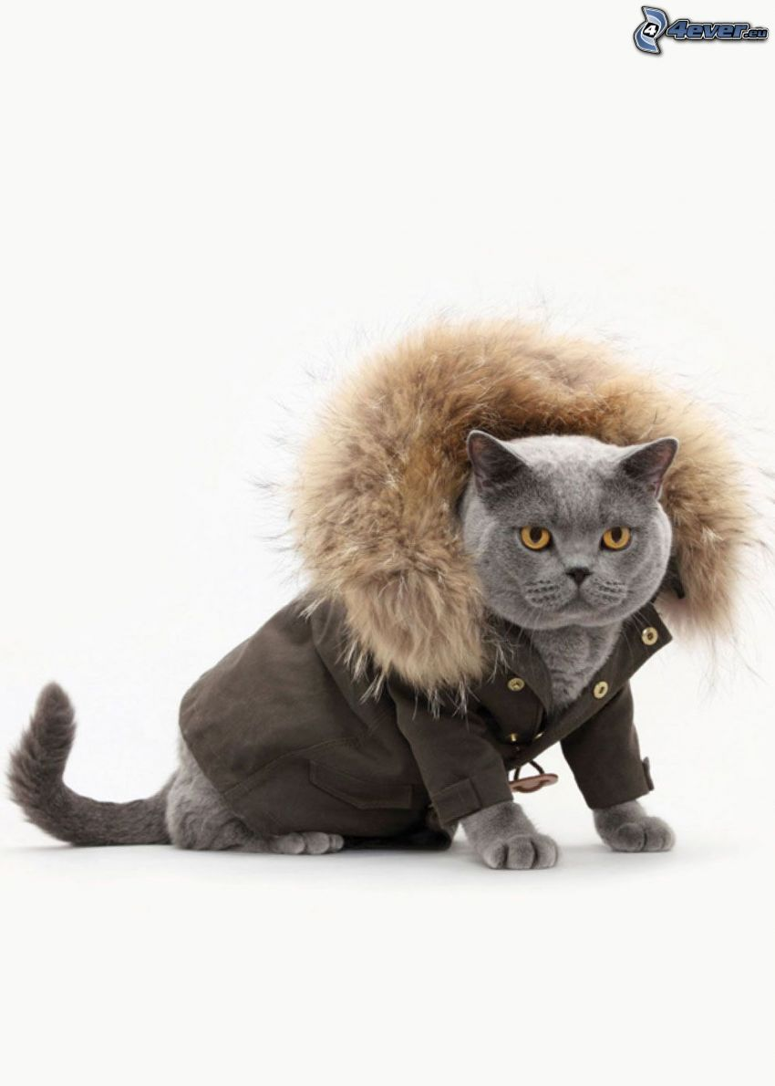 kot brytyjski, kurtka