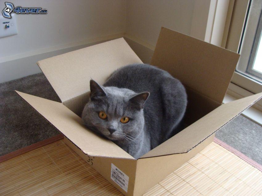 kot brytyjski, pudełko