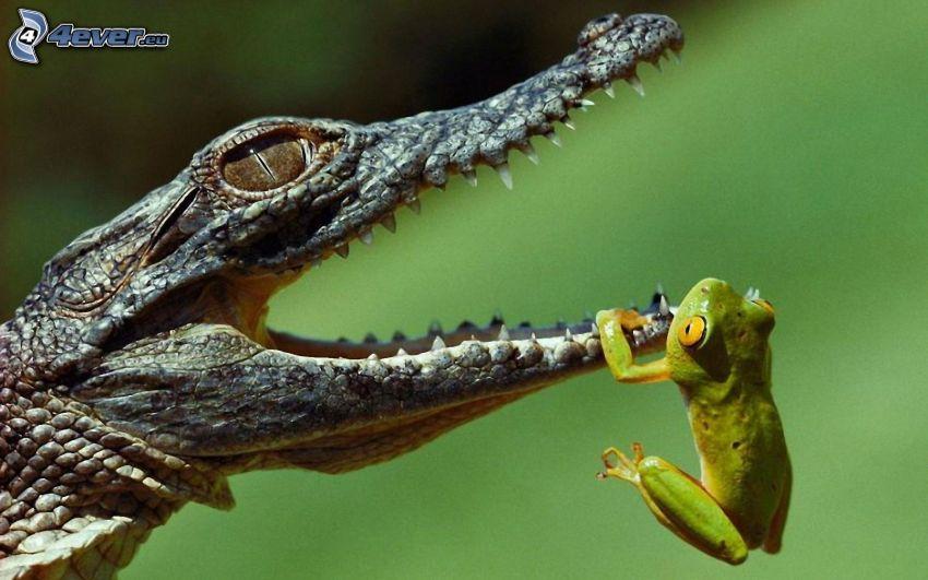 krokodyl, rzekotka drzewna