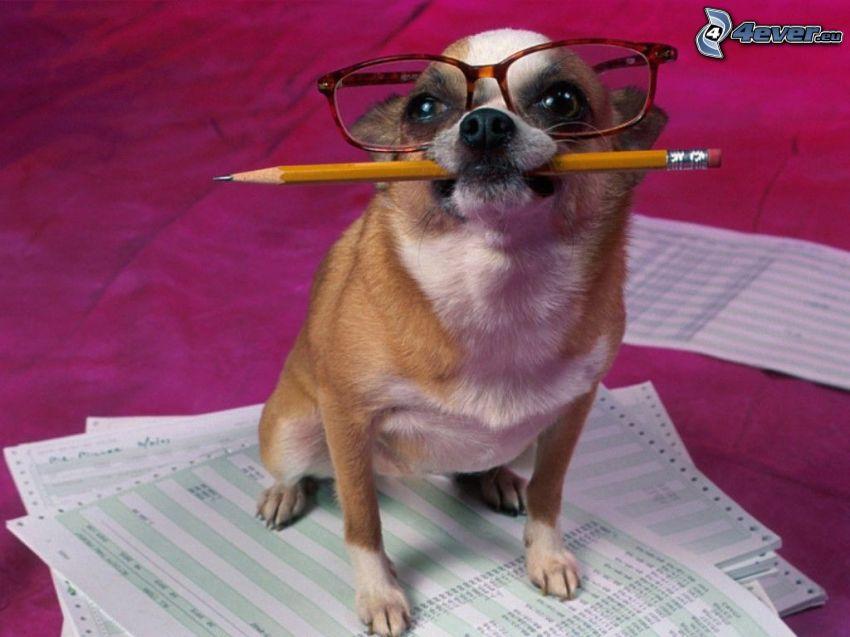 księgowy, pies w okularach
