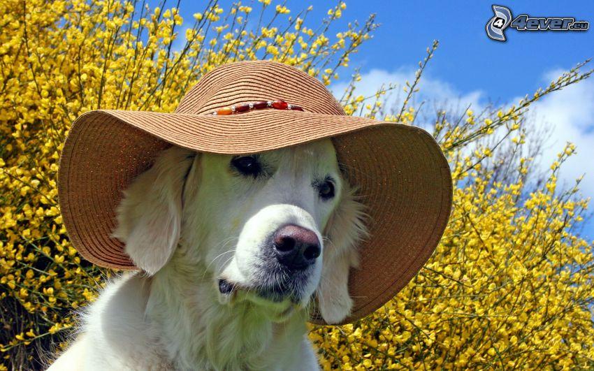 Labrador, kapelusz, złoty deszcz