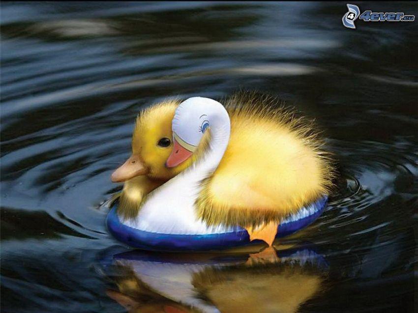 małe kaczątko, pływające koło