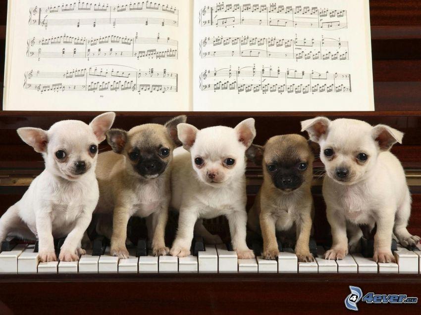 małe psy, chihuahua, fortepian, nuty
