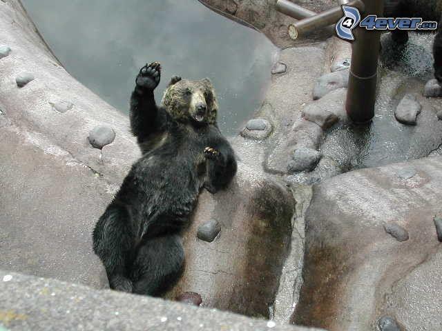niedźwiedź, woda