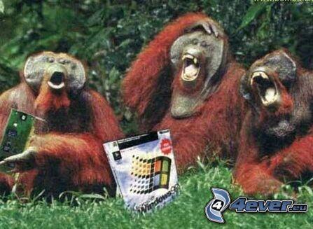 orangutany, Windows 98, małpy