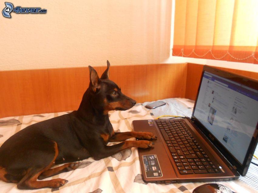 pies przy komputerze