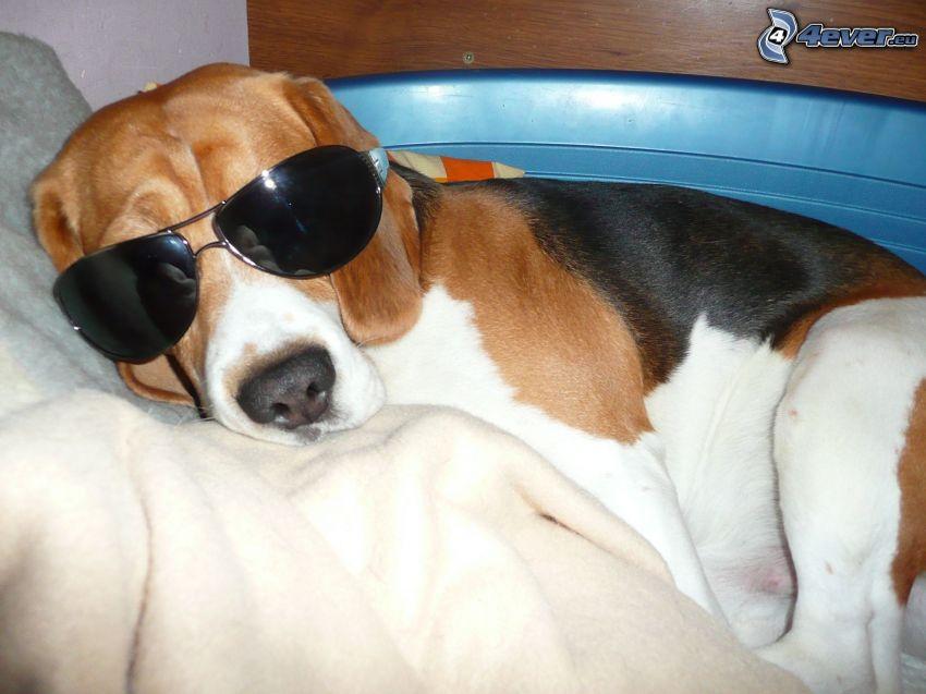 pies w okularach, okulary przeciwsłoneczne, Pies gończy