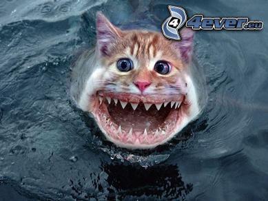 rekin, kot