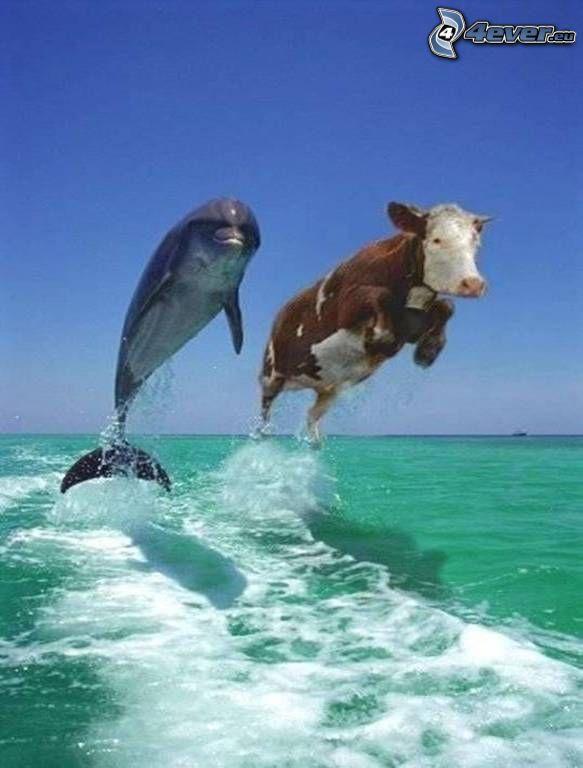 skaczący delfin, krowa, zielone morze