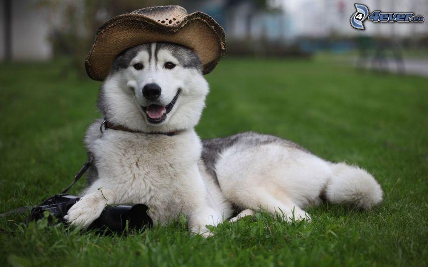 Syberian husky, kapelusz, trawa, park