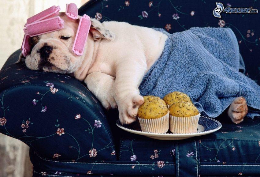 szczeniak buldoga, wałki, ręcznik, babeczki, odpoczynek