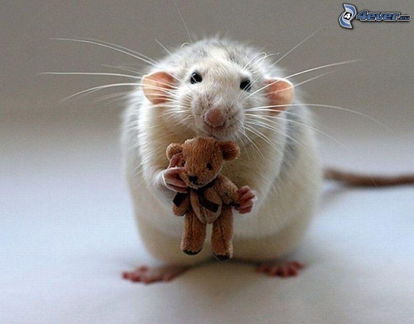 szczur, miś pluszowy