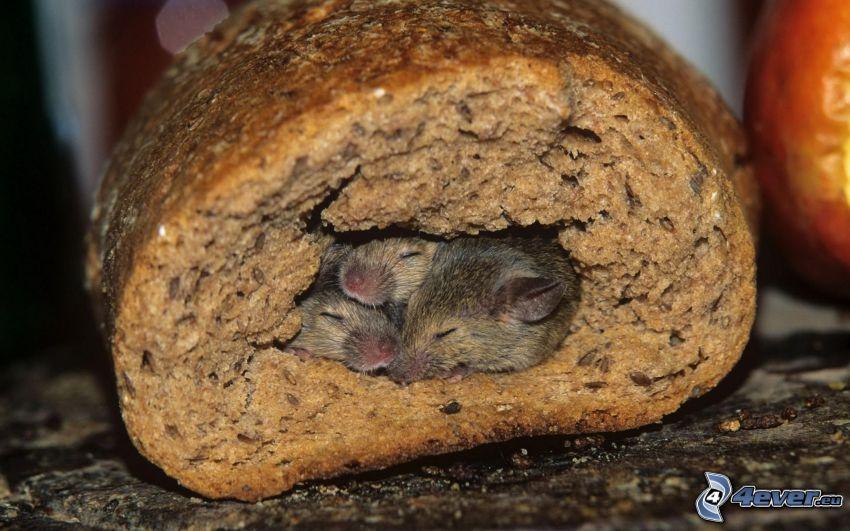 szczury, spanie, chleb