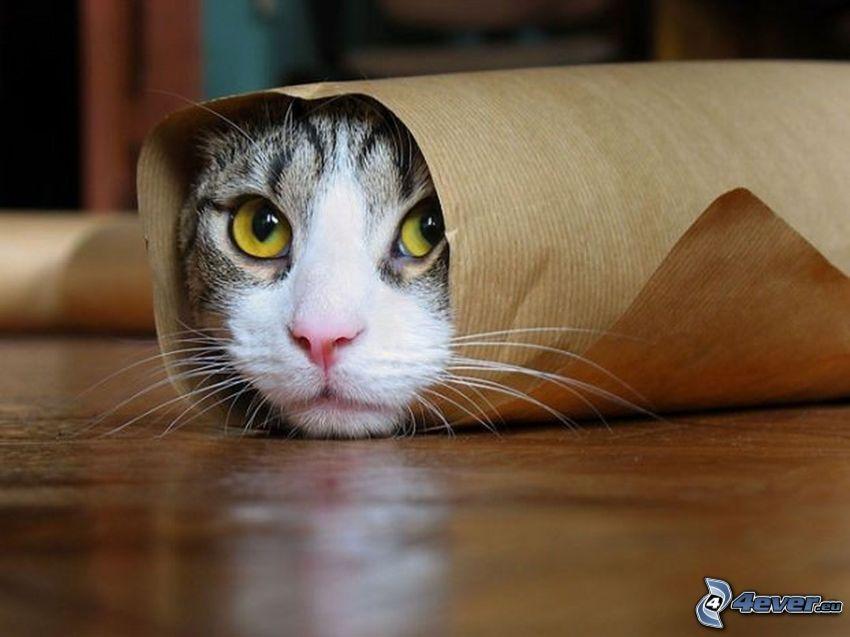 twarz kota, papier