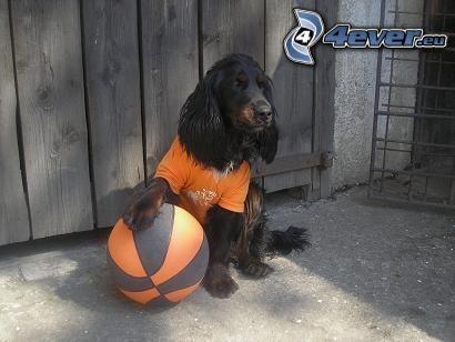 ubrany pies, koszykarz